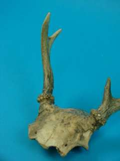 Whitetail Deer Antler Rack Young Buck Trophy Taxidermy