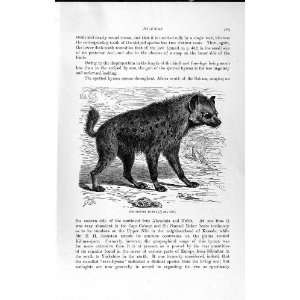 NATURAL HISTORY 1893 94 SPOTTED HYAENA WILD ANIMAL