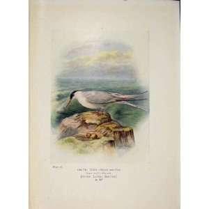 Artic Tern Bird Egg Colour Antique Old Print Fine Art