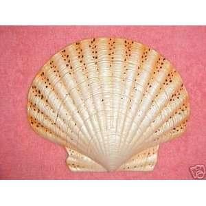 Seashell ORANGE/SPOTTED Wall Decor Spa Tropical Fish Bath Beach 6inch