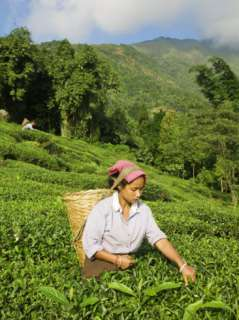 Woman Tea Picking, Goomtee Tea Estate, Kurseong, West Bengal, India
